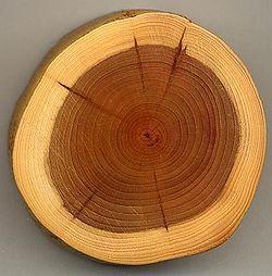 Taxus lemnul