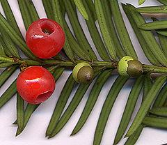 Yew-taxus baccata