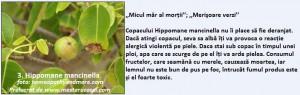 3-Hipomane Mancinela