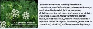 7-Ageratina altissima